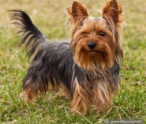 yorkshire-terrier1
