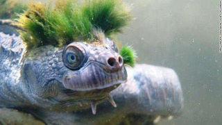 【悲報】 性器で呼吸し、頭部がフサフサの「カクレガメ」が絶滅危惧種に