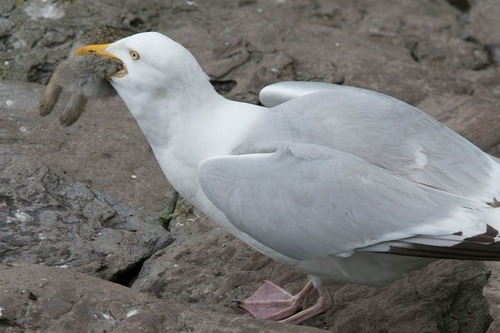fearsome_seagull_04