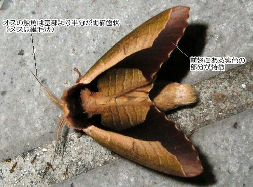murasaki_syatihoko1907040_KibiPla