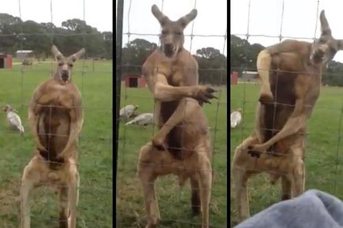kangaroo-steriods