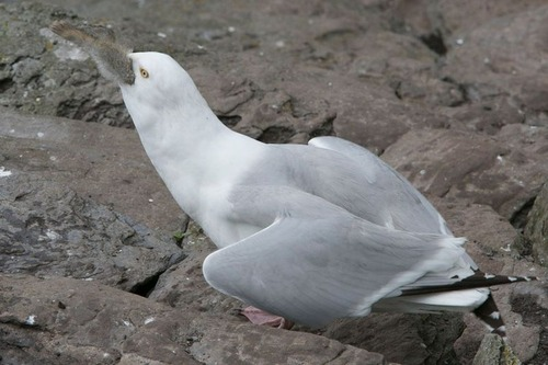 fearsome_seagull_05