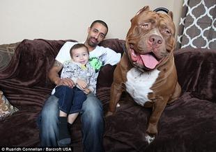 【画像】 世界最大の犬『ピットブル』(2歳) 驚愕の大きさ