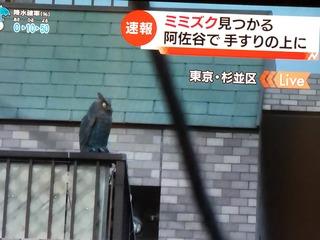 【動画】 TBS「Nスタ」が置物のミミズクを本物と間違え生中継