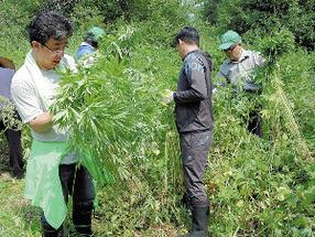 【北海道】 野生大麻が増えすぎて除去が追いつかず