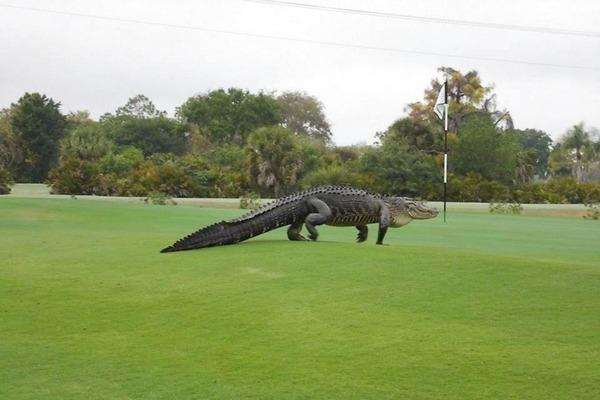 8475237-usa-golf-course-alligator