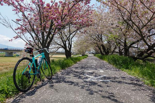 石川桜のアーチ