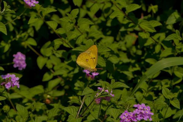 黄色いチョウチョウ_LR3