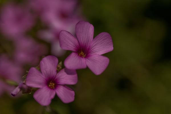 ピンクの花1_LR3