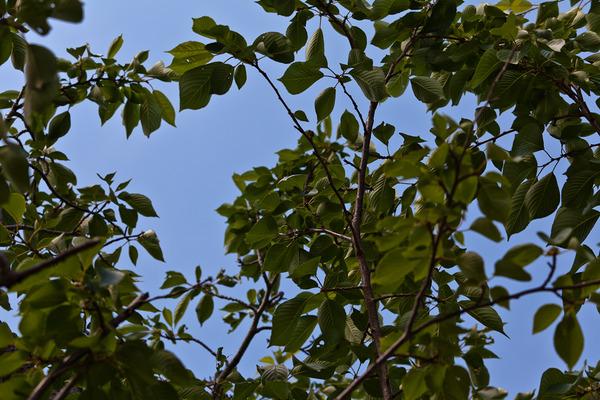 葉桜と青空