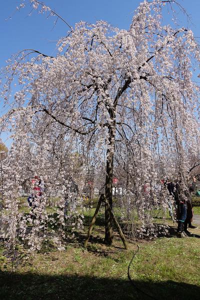 造幣局の枝垂桜