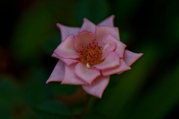 ピンクのバラ1_LR3
