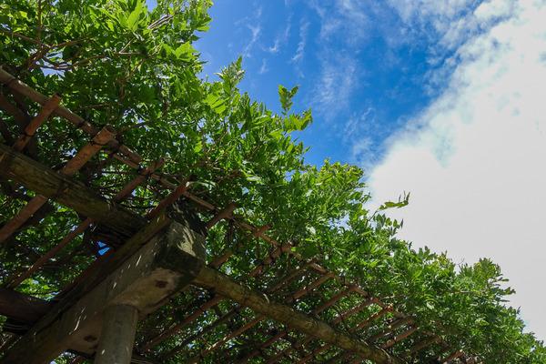 新緑の藤棚