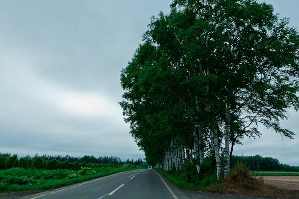 帯広 白樺並木
