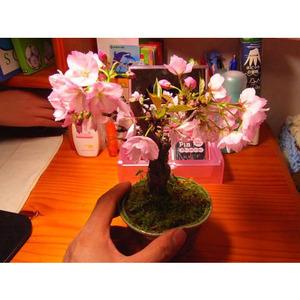sakurabonsai_sakurabonsai3_2