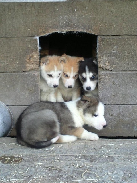 huskypuppies