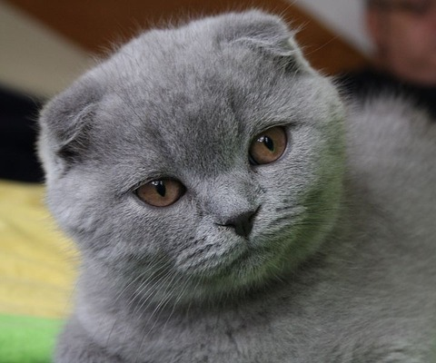 720px-3mo_lilac_Scottish_Fold_Fanel