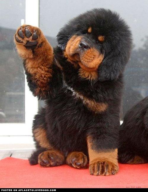 RrASC52 チベタン・マスティフ (Tibetan Mastiff) はチベット高原...