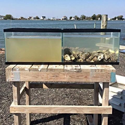 「濁った水を綺麗にする牡蠣の浄化能力が凄いと海外掲示板で話題に」海外の反応