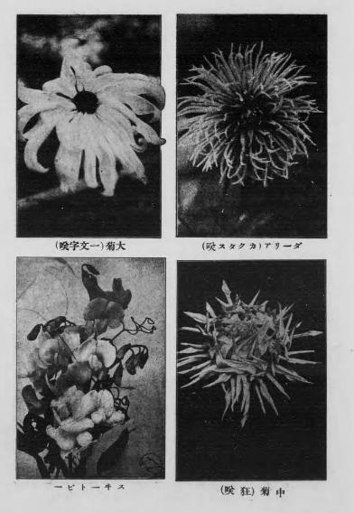 「日本人とアメリカ人の菊観賞の仕方には国民性の違いがある」(大正時代の海外旅行記:太田順治『欧米素描』)