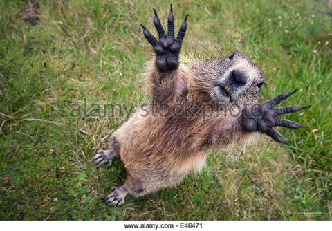 handsalpine-marmot-e46471
