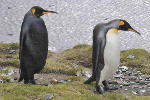 メラニズムの王様ペンギン
