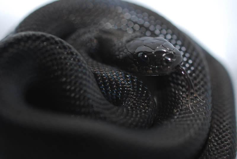 アルビノ蛇の動物壁紙