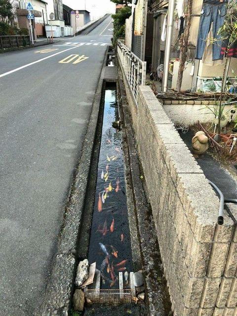 「日本の水路は鯉が住むことが出来るほど綺麗だと話題に」海外の反応
