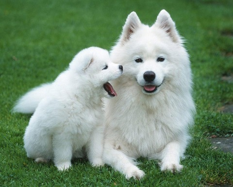 samoyed_puppy