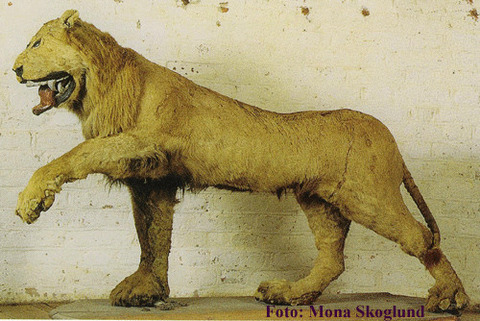 lejonet1