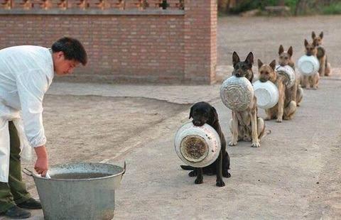 「順番を守って餌を待つ中国の警察犬が海外掲示板で話題に」海外の反応