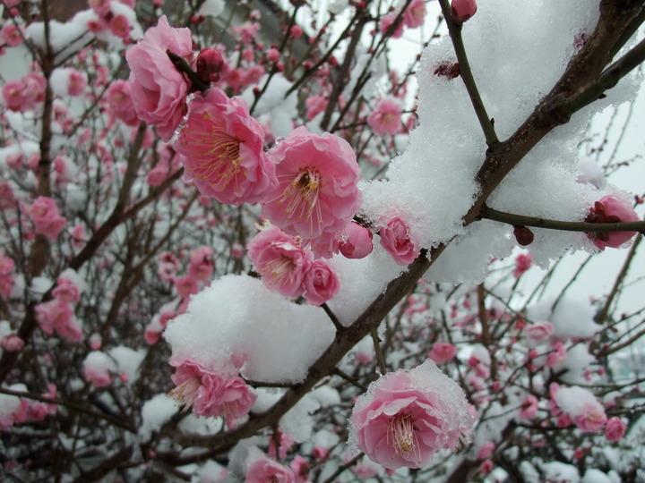 岡ミサンザイ 南西の梅接写 雪化粧 (大)