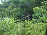 カンムリワシ石垣