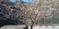 玉縄桜 清泉