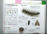 アジサイ毛虫