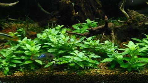 ALL BLUE ~コリドラスとアピストと水草~