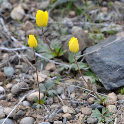 anemone-petiolulosa