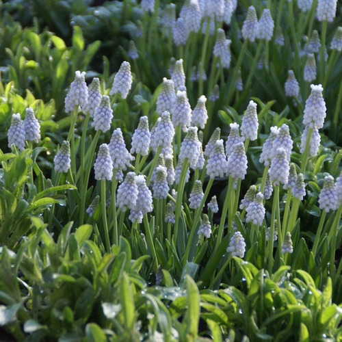 muscari-armeniacum-peppermint-reg-1238