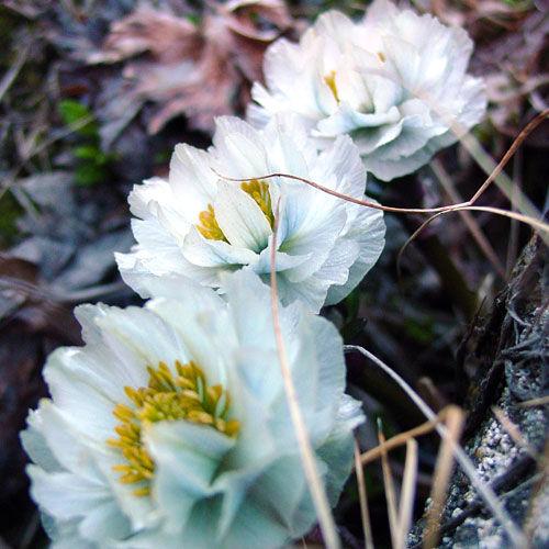 trollius-lilacinus1 Chon Ashuu pass