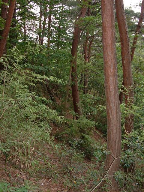階段からアカマツ林2