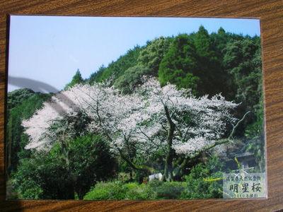 230220明星桜 花