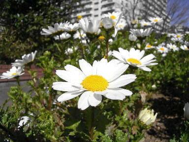 22 寒白菊 クリサンセマム バルドサム