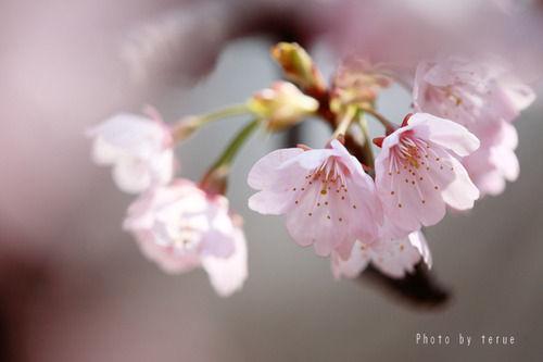 28ソメイヨシノ桜
