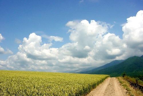 17320461 麦畑 (Google Earth 画像より・)