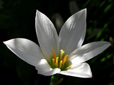 zephyranthes.jpg