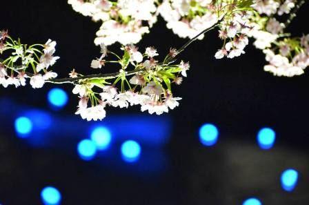 夜桜流れ星 黒田③s