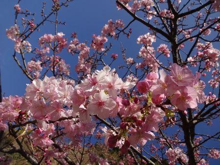 弥陀トンネルの桜