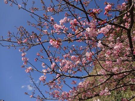 弥陀トンネルの桜②