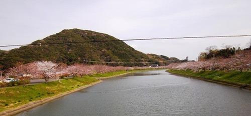 青野川下流 ソメイヨシノ