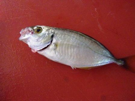 てるくんが釣ってきたお魚。